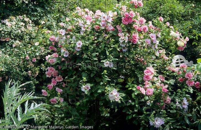 Rosa 'Pink Perpétué', lavatera