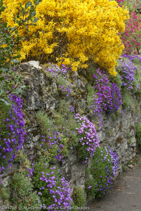 Aubretia growing over dry-stone wall, forsythia