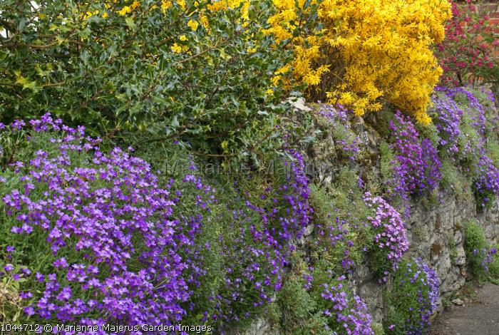 Aubretia growing over dry-stone wall, forsythia