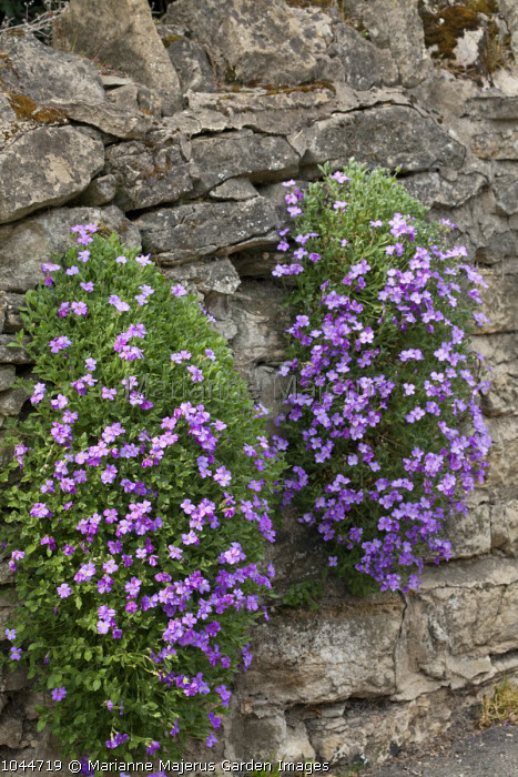 Aubretia growing over dry-stone wall