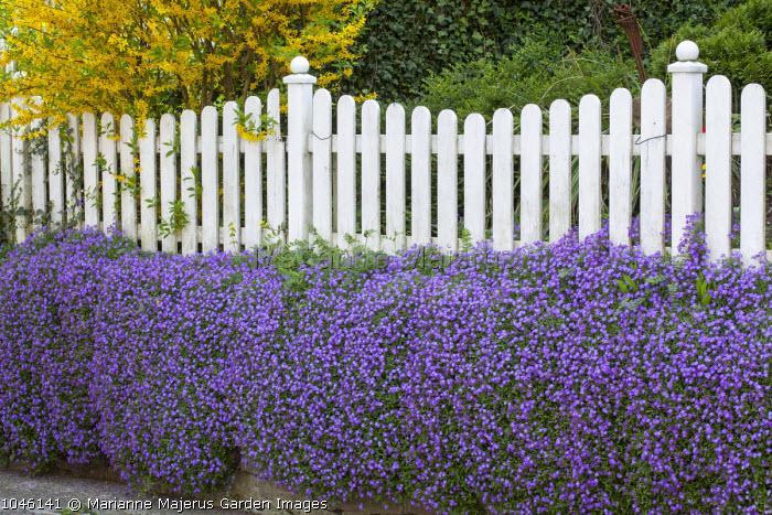 Aubretia on wall, white picket fence, forsythia