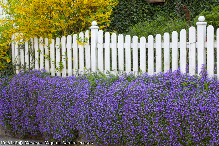 Aubretia on wall, white picket fence, forsythia