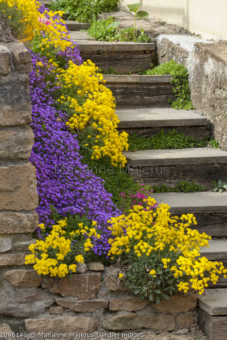 Steps, edging of alyssum and aubretia