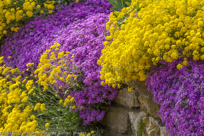 Alyssum and aubretia growing on dry-stone wall