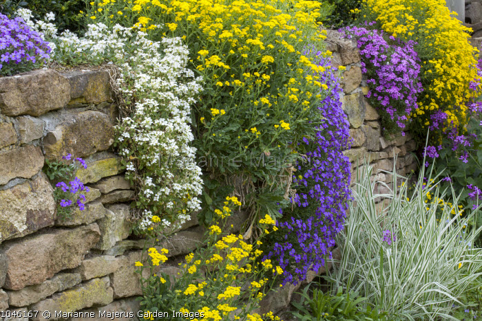 Alyssum, aubretia and arabis growing on dry-stone wall