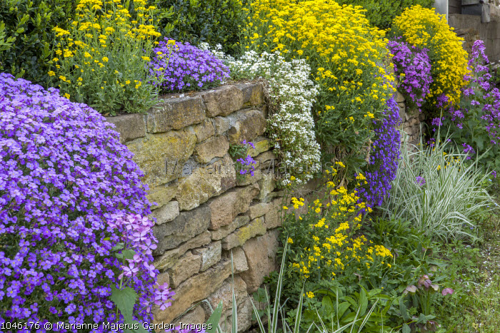 Alyssum, aubretia and arabis growing on wall