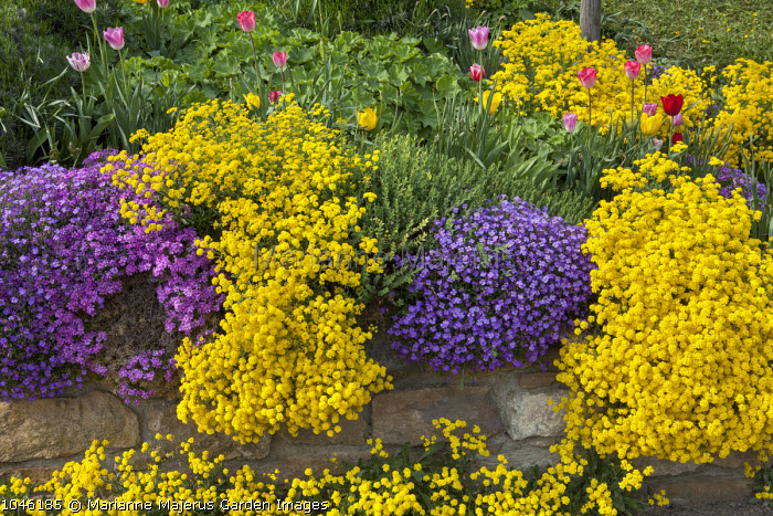 Alyssum,and aubretia growing on wall, tulips
