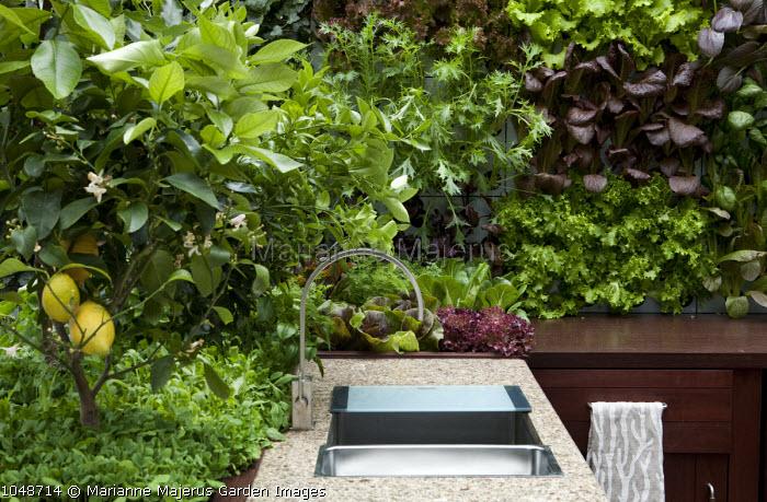 Outdoor kitchen, sink, lemon tree, salad leaves in raised beds, Pak Choi 'Red Lady', mizuna