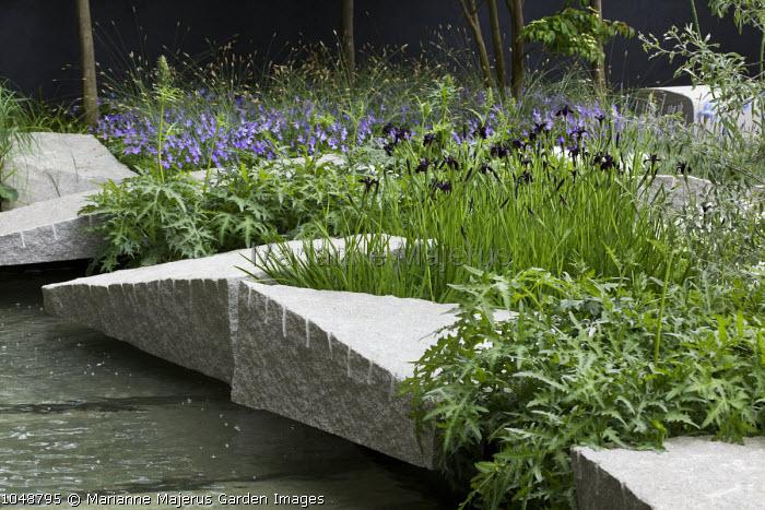 Contemporary rock garden, Iris chrysographes, Acanthus spinosus, Viola cornuta blue-flowered, granite boulders