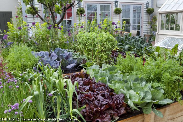 Salad leaves and vegetables in timber raised beds, lettuce, peas, leeks
