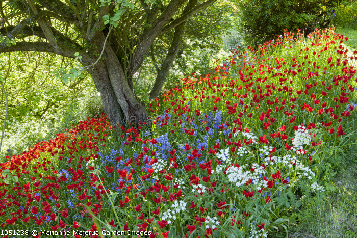 Tulipa sprengeri, bluebells and Cow parsley under tree