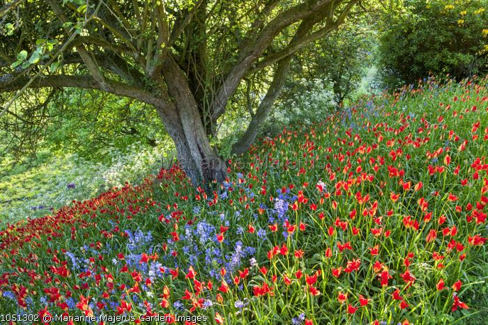 Naturalised Tulipa sprengeri, Cow parsley and bluebells under apple tree