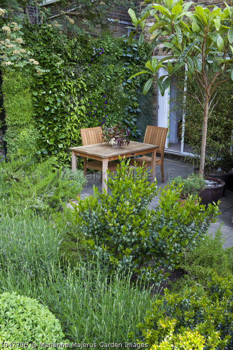 Living green wall, table and chairs on patio, Eriobotrya japonica in container
