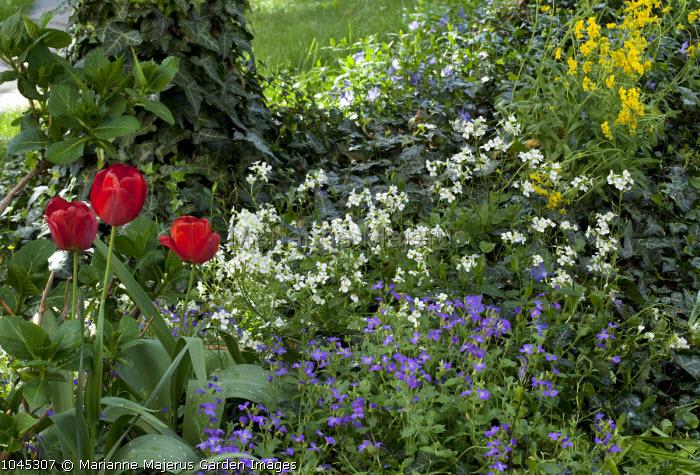 Arabis and aubretia, tulip