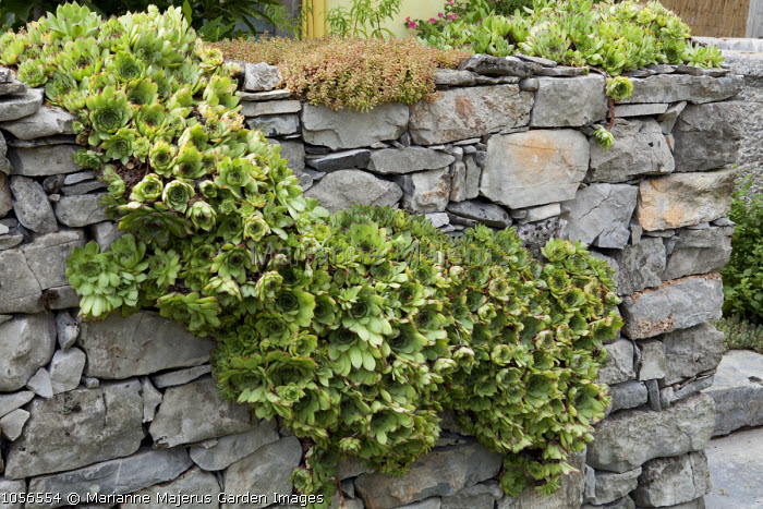 Sempervivum tectorum and sedums growing in dry-stone wall