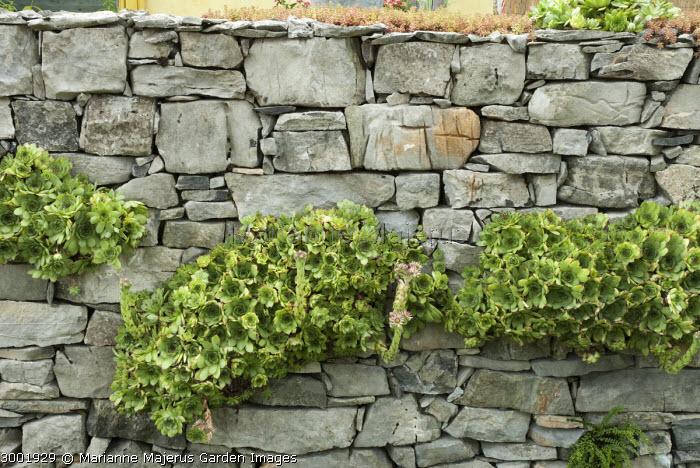 Sempervivum tectorum growing in dry-stone wall