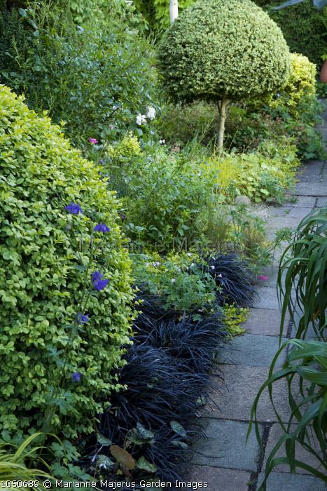 Lollipop clipped topiary standards, Ophiopogon planiscapus 'Nigrescens'