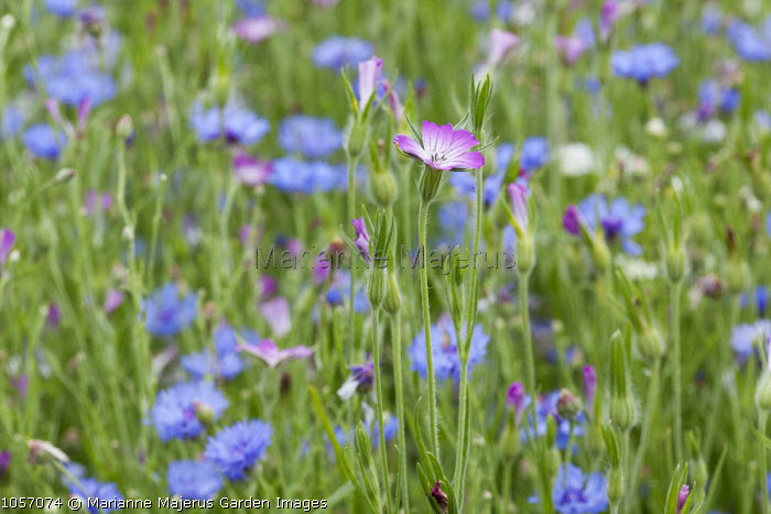 Agrostemma githago, Centaurea cyanus