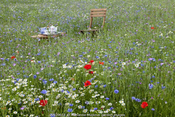 Chair and table with afternoon tea in wildflower meadow, Agrostemma githago, Centaurea cyanus, Tripleurospermum inodorum, Field poppies, Scentless Mayweed