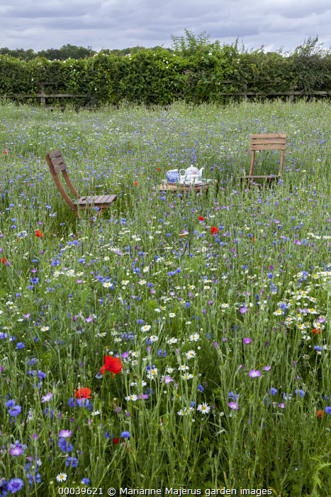 Chair and table with afternoon tea in wildflower meadow, Agrostemma githago, Centaurea cyanus, Tripleurospermum inodorum, field poppies