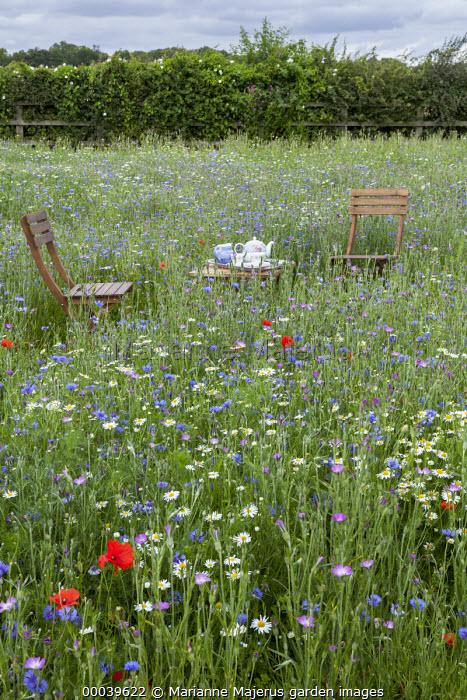 Chairs and table with afternoon tea in wildflower meadow, Agrostemma githago, Centaurea cyanus, Tripleurospermum inodorum, field poppies