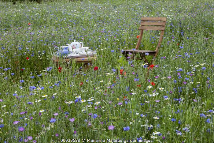 Chair and table with afternoon tea in wildflower meadow, Agrostemma githago, Centaurea cyanus, Tripleurospermum inodorum, field poppies