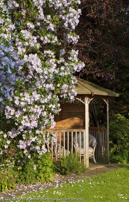 Summerhouse, Abutilon vitifolium
