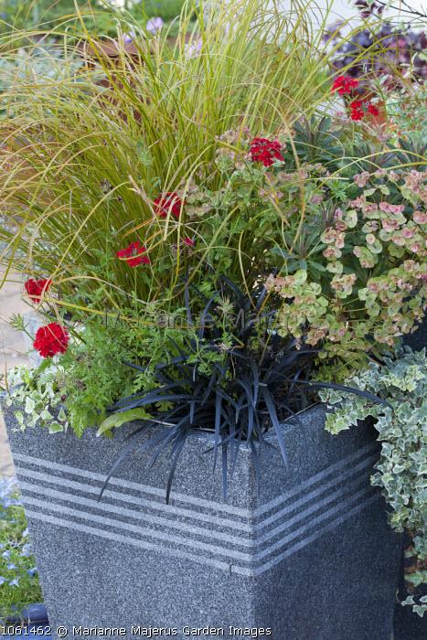 Ophiopogon planiscapus 'Nigrescens, euphorbia, Anemanthele lessoniana, Verbena 'Quartz Scarlet' in container