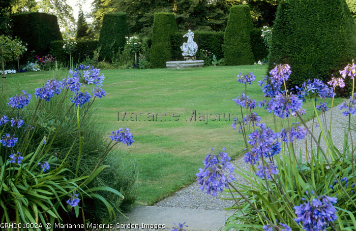 Agapanthus, view across lawn to fountain, yew hedges