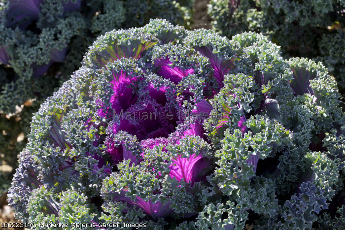 Ornamental cabbage 'Maribor'