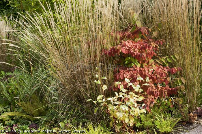 Viburnum plicatum f. tomentosum 'Lanarth', Calamagrostis x acutiflora 'Karl Foerster'