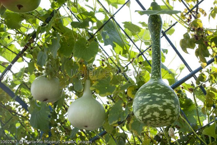 Cucurbita maxima 'Blue Ballet' and Bottle Gourd in gourd tunnel