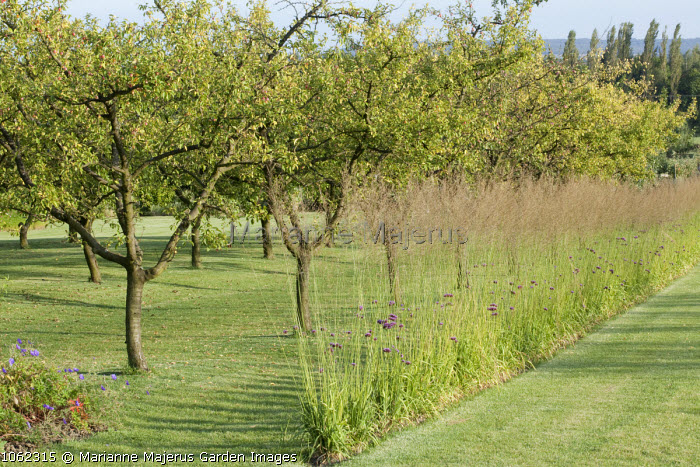Screen of miscanthus in orchard