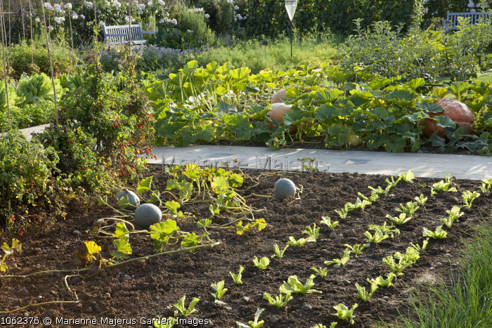 Salads and squashes in vegetable garden