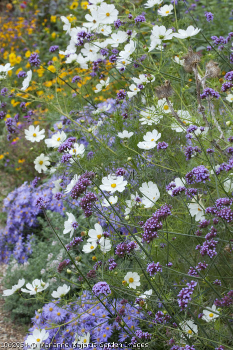 Aster amellus 'Veilchenkönigin' syn. Aster 'Violet Queen', Verbena bonariensis and Cosmos bipinnatus in border