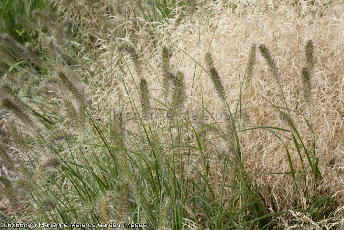Pennisetum alopecuroides 'Woodside', Deschampsia cespitosa 'Goldtau'