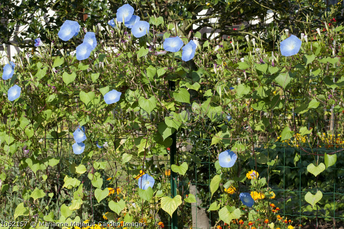 Ipomoea 'Heavenly Blue' climbing on wire trellis fence