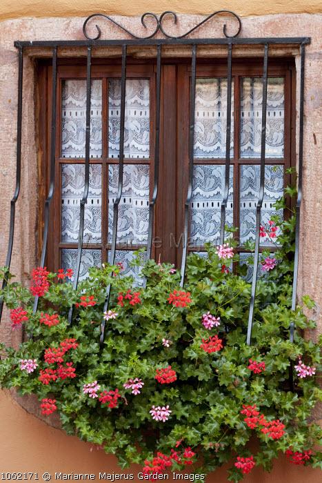 Pelargoniums in window box