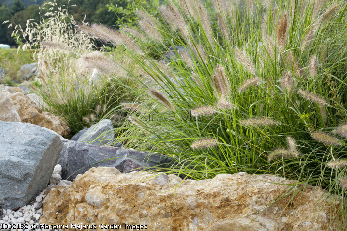 Pennisetum in rock garden