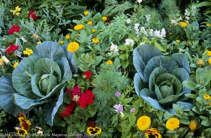 Cabbages in border with pansies and Pot marigolds