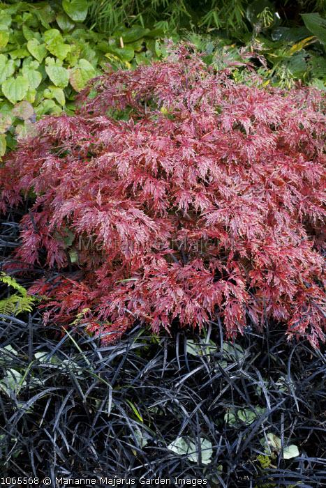 Acer palmatum var. dissectum 'Octopus', Ophiopogon planiscapus 'Nigrescens'