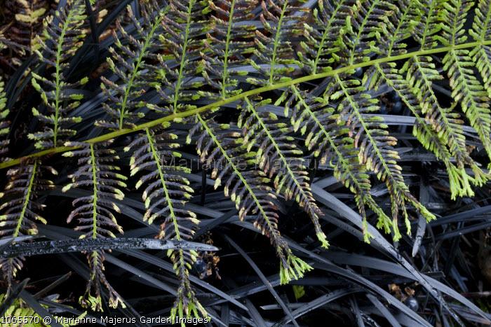 Athyrium filix-femina, Ophiopogon planiscapus 'Nigrescens'