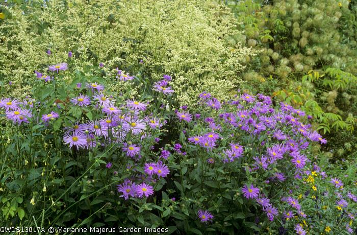 Artemisia lactiflora, Aster amellus, Clematis tangutica seedheads