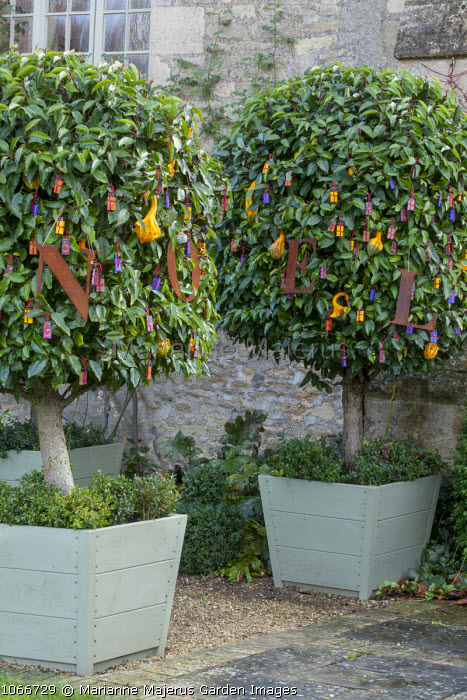 Prunus lusitanica in containers with gourd and chocolate Christmas decorations