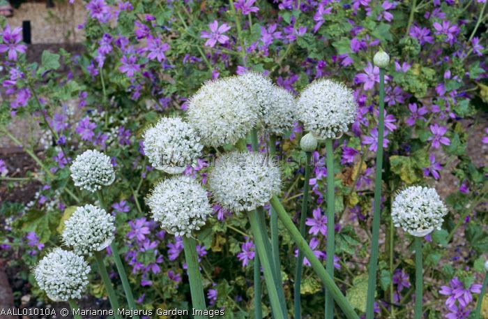 Allium fistulosum, Malva sylvestris