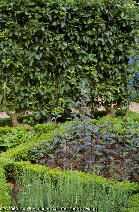 Potager, box-edged beds, Atriplex hortensis var. rubra, U trained apple trees, Satureja montana