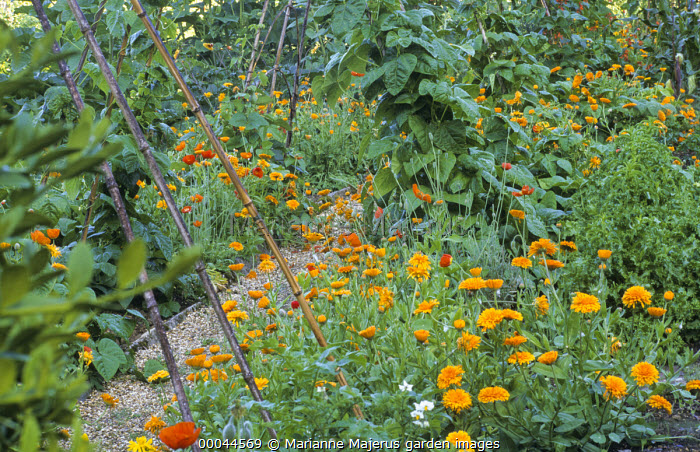 Gravel path, bean pyramids, bamboo canes, marigolds