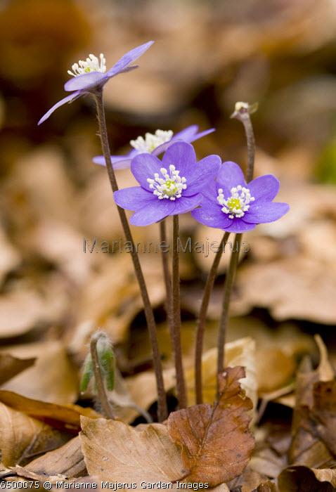Hepatica nobilis syn. Hepatica triloba in beech woodland, Monte Sibillini, Italy.