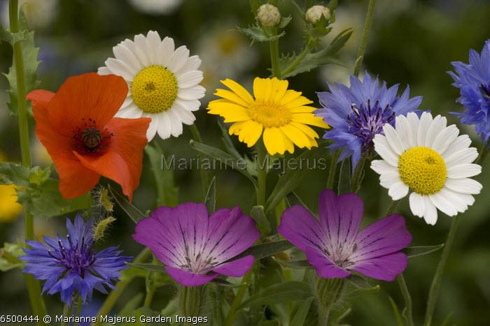 Group of cornfield weeds: Corn cockle, Corn marigolds, cornflower, Corn chamomile, Corn mayweed , Field poppy