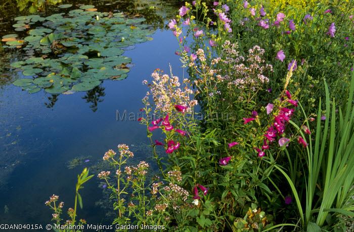 Pond, penstemons, origanum, mallow, water lilies